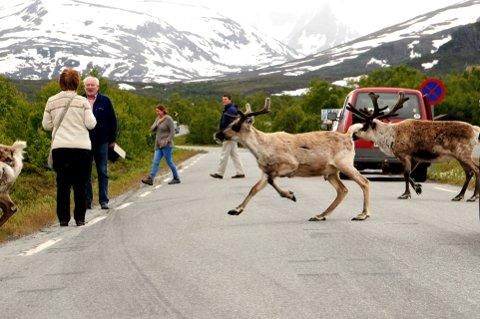 TAMREIN I FARTA: Det er ikke påvist sjukdom i flokkene til tamreinlagene i Vågå og Lom. Foto: Vidar Heitkøtter