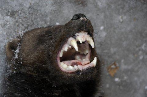 En jerv har drept flere sauer i Nord-Fron. Nå utvides fellingstillatelsen.