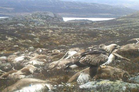 Bildet tatt av et utsatt viltkamera viser en kongeørn som forsyner seg av de døde reinsdyrene. Dyrene ble liggende på fjellet og overlatt til naturens gang med åtseletere og forråtnelse.