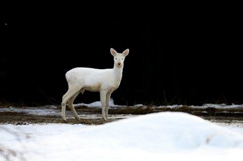 Den hvite sjeldenheten fikk først navnet Snørosa, før de skjønte at det var snakk om en bukk. Da fikk den navnet Ojoj, fordi alle sa «oi, oi, oi» når de fikk se den.