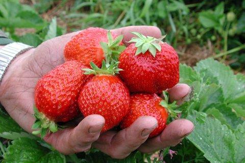 Sommersymbol: Jordbæra fra Ringebu er et av de kraftigste sommersymbolene i Gudbrandsdalen.