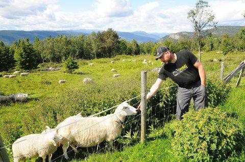 Lars Ole Auglestad har sendt 1.200 sauer på utmarksbeite - nå frykter han flere tap etter at en jerv tok et av hans lam i Sør-Fron.