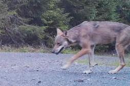 I JULI: Denne ulvetispa ble fanget på viltkamera på grensa mellom Jevnaker og Ringerike. Den ble senere skutt. Bildet er tatt 20. juli.