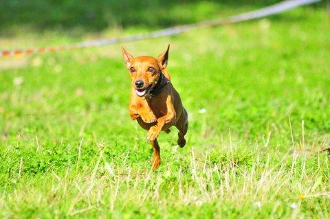 HUNDELIV: I helga blir det liv og røre når rundt 100 hunderskal delta på vårskue i regi av Norges Hunders Landsforbund på Bråtorp camping i Enningdalen. Fido, som denne hunden heter, kommer også til å være til stede.