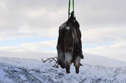 REIN: Skrantesjuke hjå hjortedyr har ført til uttak av all rein i Nordfjella. Mattilsynet tilrår òg stor bukkejakt på vidda.