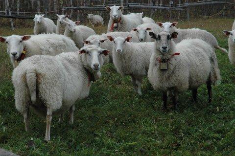 De som ønsker utvidet båndtvang i Hattfjelldal  er opptatt av beitedyrenes kår.