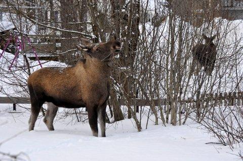 Tilstrekkelige beiteressurser vintertid er alfa og omega for elgen som hadde en tøff vinter i 2018.