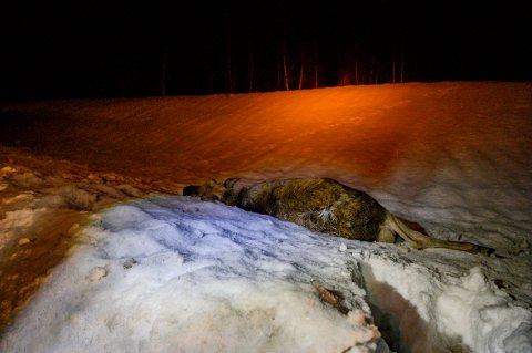 En elg ble onsdag kveld påkjørt på fylkesvei 78 i Drevja.