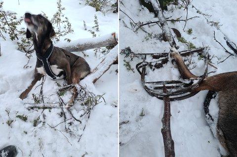 Hunden Tuva fikk et vondt møte med ei revesaks da hun var med på skitur 1. januar. – Det var grusomt å ikke kunne gjøre noe. Jeg prøvde først å bryte opp saksa, men det var helt håpløst. Det er helt forferdelig at folk kan legge ut sånt, sa hundeeier Aagot Jacobsen fra Mosjøen til Helgelendingen fredag.