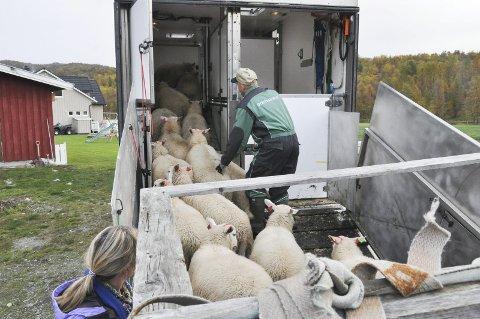 Sauenæringen i Finnmark har levert god kvalitet på slaktet de siste årene.