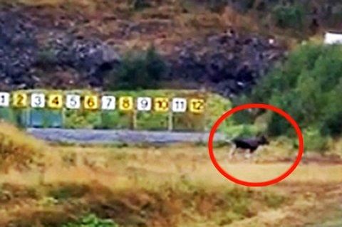 - Det er nesten som man blir fornærmet som elgjeger når elgen kommer for å sjekke ferdighetene våre mens vi ligger og skyter, humrer Rolf Johansen i Lyngen skytterlag. (Foto: Rolf Johansen)