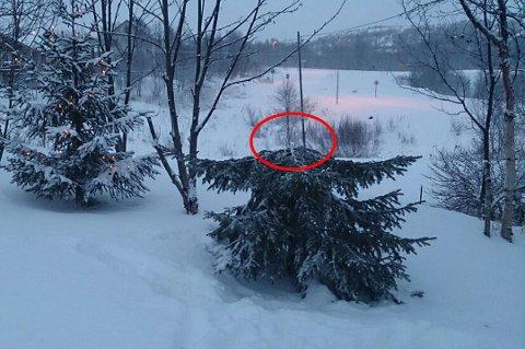 SVIGERMORS TRE: I sin frekkhet hadde saget av et grantre i familiens hage og tatt treet med seg.
