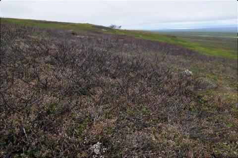 DØD VEGETASJON: – Bildet viser et stort parti med død vegetasjon på Varangervidda etter utbrudd av liten frostmåler – et insekt som i et varmere klima nylig har spredd seg fra sør. COAT skal overvåke slike og andre fotavtrykk av klimaendringene som kan komme til å prege Varangerhalvøya nasjonalpark i årene framover, skriver Rolf A. Ims og Jan Erik Knutsen. Foto: Geir Vie