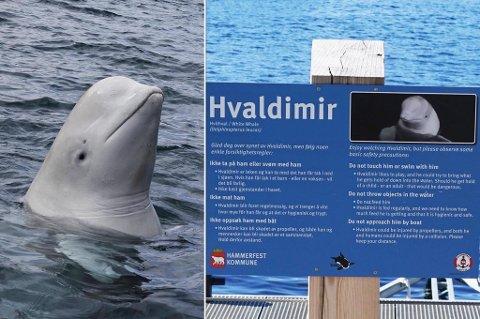 KJØREREGLER FOR HVALDIMIR: Oppfordringene til publikum er klare fredag, på sju steder i Hammerfest.