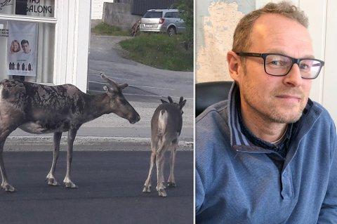 JOBBER MED SAKEN: Fagleder for Park, Idrett og Friluftsliv, Reidar Næss, forteller at det jobbes iherdig med å få lukket reingjerdet. Her ser du to reindsyr som har forvillet seg inn i Rypefjords gater,.