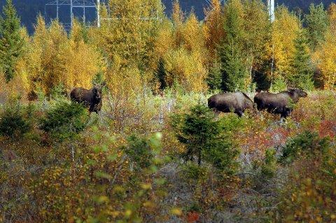 FÆRRE ELGER: Det er hittil i elgjakta skutt 150 av 269 tildelte dyr. Spesielt i sørenden av kommunen - Ekne, Skogn og Markabygda - er det langt færre elger enn før, opplyser både utmarksrådgiver Rune Sørholt.
