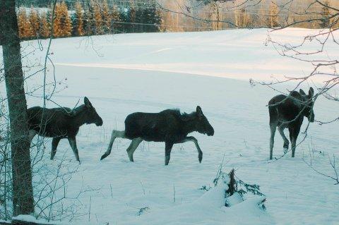 MINDRE ELG : Det har blitt adskillig mindre elg både å se og jakte på i Aurskog-Høland de siste årene. Utbyttet av elgjakta er mer enn halv-vert på åtte år. Foto: Øivind Eriksen