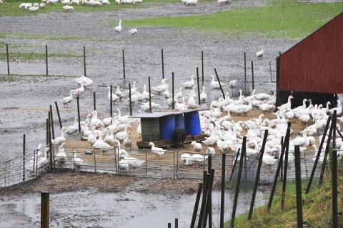 Koste seg: Gjessene på Holet Gård i Drangedal koste seg i regnværet. Kanskje som de eneste?