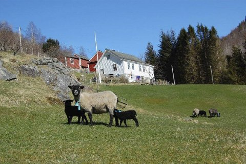 SAUEHALD: Sau- og geitehald er ein del av drifta på Eikenes.alle foto: tore eik