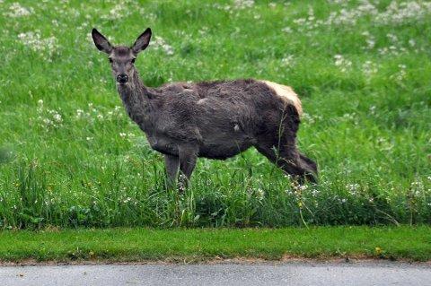 Det blei felt fleire hjortar i 2016 enn året før. (Illustrasjonsbilde frå arkivet).