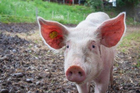SAVNET: Tre griser av denne typen er savnet fra Passebekk.