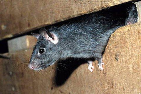 OPPBLOMSTRING: At det ved flere anledninger har blitt observert rotter på bakkenivå i Lillestrøm den siste tiden kan tyde på en oppblomstring av rottebestanden ifølge Anticimex.