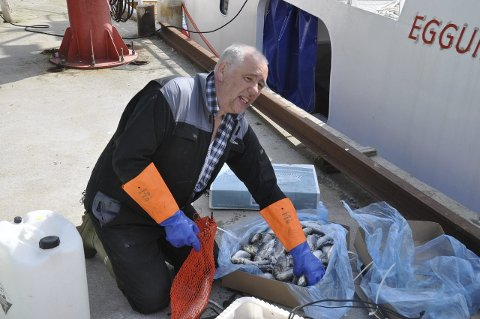 AGN: Skipper Morten Kristiansen på «Eggumsværing» putter tre sild i hver agnpose. Begge foto: Kai Nikolaisen