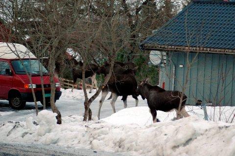 Elg og BIL: Kombinasjonen elg og bil er en farlig sammenblanding. Ikke bare blir svært mange elg skadet, men de store dyrene kan påføre bilister og passasjerer alvorlige skader ved sammenstøt. Illustrasjonsfoto: Gullik Maas Pedersen