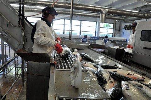 Lørdag siste dag: Siste dag med produksjon av laks hos Ellingsen Seafood var på lørdag. Nå må 23 ansatte i produksjonen vente til august før de igjen kan ta disse lokalene i bruk.