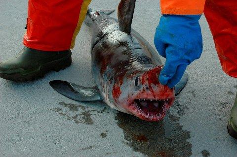 i kjeften på de fleste haiarter står tennen tett.