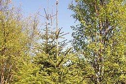 Ny grantype: I 2013 ble det gitt tillatelse til planting av 9500 lutzgran i Vestvågøy. Nå setter Miljødirektoratet en stopper for planting av 4000 trær ved Holdalsvatnet i Borge. Norsk Landbruksrådgivning mener det er bra at beiteområder skjermes mot treplanting.