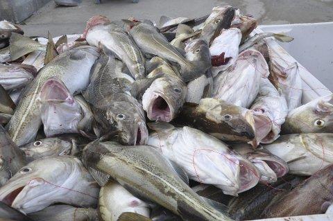 SKREI: Fiskerne i Vesterålen får nå stadig større fangster av skrei.Ill. Foto: Kai Nikolaisen