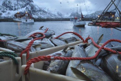 Øker: Mandag økes minsteprisen på torsk. Ill.foto: Kai Nikolaisen