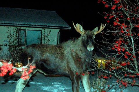 Telles: Nå skal elgen i Vestvågøy telles. Foto: John Arve Johnsen