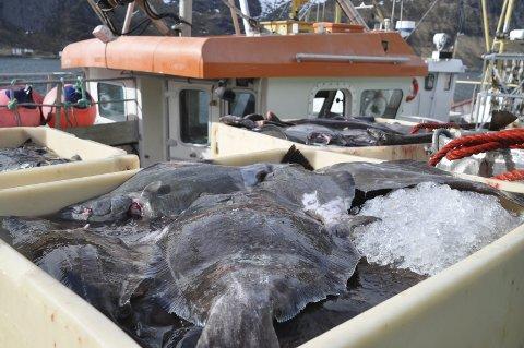 BLÅKVEITE: 1. juni starter årets blåkveitefiske.