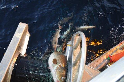 ØKER: Til neste år får fiskerne lov til å fiske mer torsk.