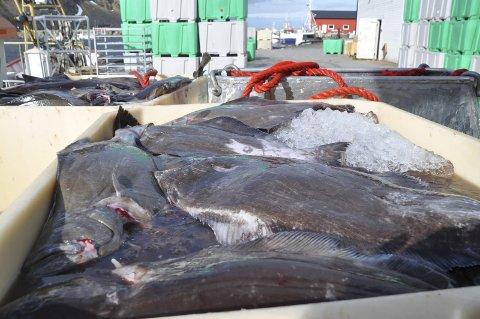 Blåkveite: Blåkveitefisket stoppes fra midnatt mandag  ILL: FOTO: Kai Nikolaisen