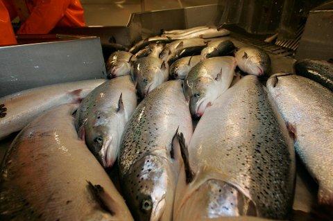 STOR LAKS: Kineserne er ville etter norsk laks, men den må være stor.  Foto: Torgrim Rath Olsen