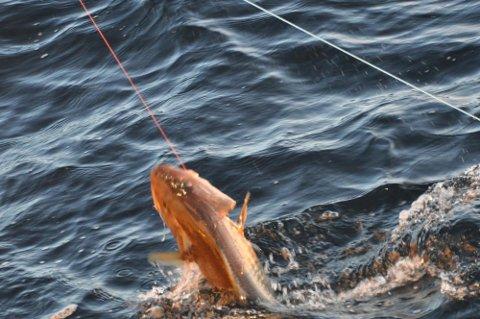 DÅRLIGST BETALT: I forrige uke var det juksa og linefiskerne som fikk dårligst betalt for skreien.