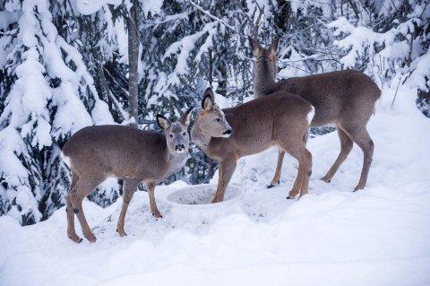 FÔRING: Mange synes det er stas å fôre rådyr vinterstid. Men på grunn av faren for skrantesyke har Mattilsynet nå nedlagt forbud mot fôring av hjortevilt.