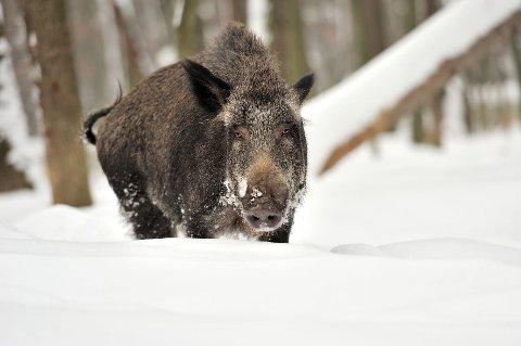 LIKER SEG I NORSKE SKOGER: De ville grisene har kommet for å bli. Hvordan kan de best forvaltes?