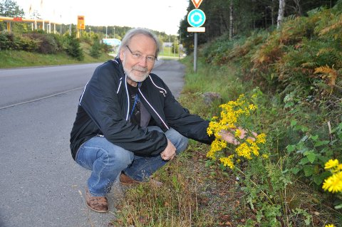 I VEIKANTEN: Landøyda vokser flere steder langs E6 i Moss, men er svært giftig. Seniorforsker Ole Martin Eklo fra NIBIO bekrefter at dette er landøyda, her i Vålerveien.