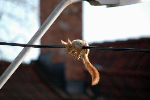 I SJOKK: I én time hang dette ekornet skrekkslagent over ledningen. ALLE FOTO: NINA SCHYBERG OLSEN