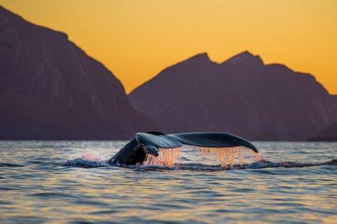 NÅ BLIR DET (H)VALFARTING: Hvalene er tilbake i Tromsø! Dette bildet tok Audun Rikardsen torsdag på yttersida.