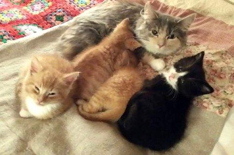 NYTT HJEM: Her er kattungene Truls, Trøfti, Tordenskjold og Tequila sammen med sin nye mor Blue Belle.