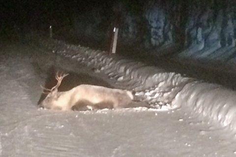 MIDT I VEIEN: Reinsdyret akte seg ut i veibanen. En Nordlys-tipser fikk stoppet trafikken gjennom å sette på nødblinken på for å hindre ytterligere problemer. Reinsdyret ble sent tirsdag kveld avlivet.
