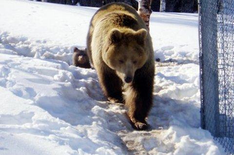 IKKE MAT BJØRNENE: Alle besøkende får streng beskjed om ikke å mate dyrene i Polar Zoo. Det lot ikke den utenlandske turisten seg skremme av. Denne binnen er avbildet på et tidligere tidspunkt.