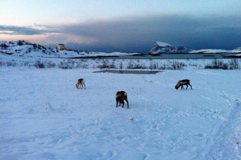 SKAL AVLIVES: Reinsdyrene som beiter ulovlig på Sommarøya skal avlives så snart namsretten har hatt saken oppe.