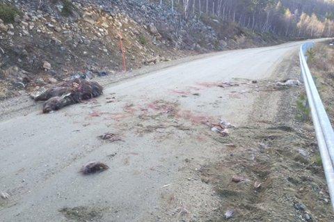 ÅSTED: Dette viser med all tydelighet kampen der bjørnen har drept elgen og begynt å spise av den. Foto: Tom Erik Rasmus Foto: Foto: Tom Erik Rasmus