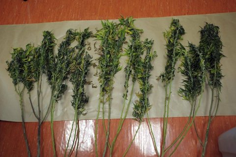 HASJ: Mannen hevdet at cannabisplantene kun skulle brukes til pynt. Illustrasjonsfoto